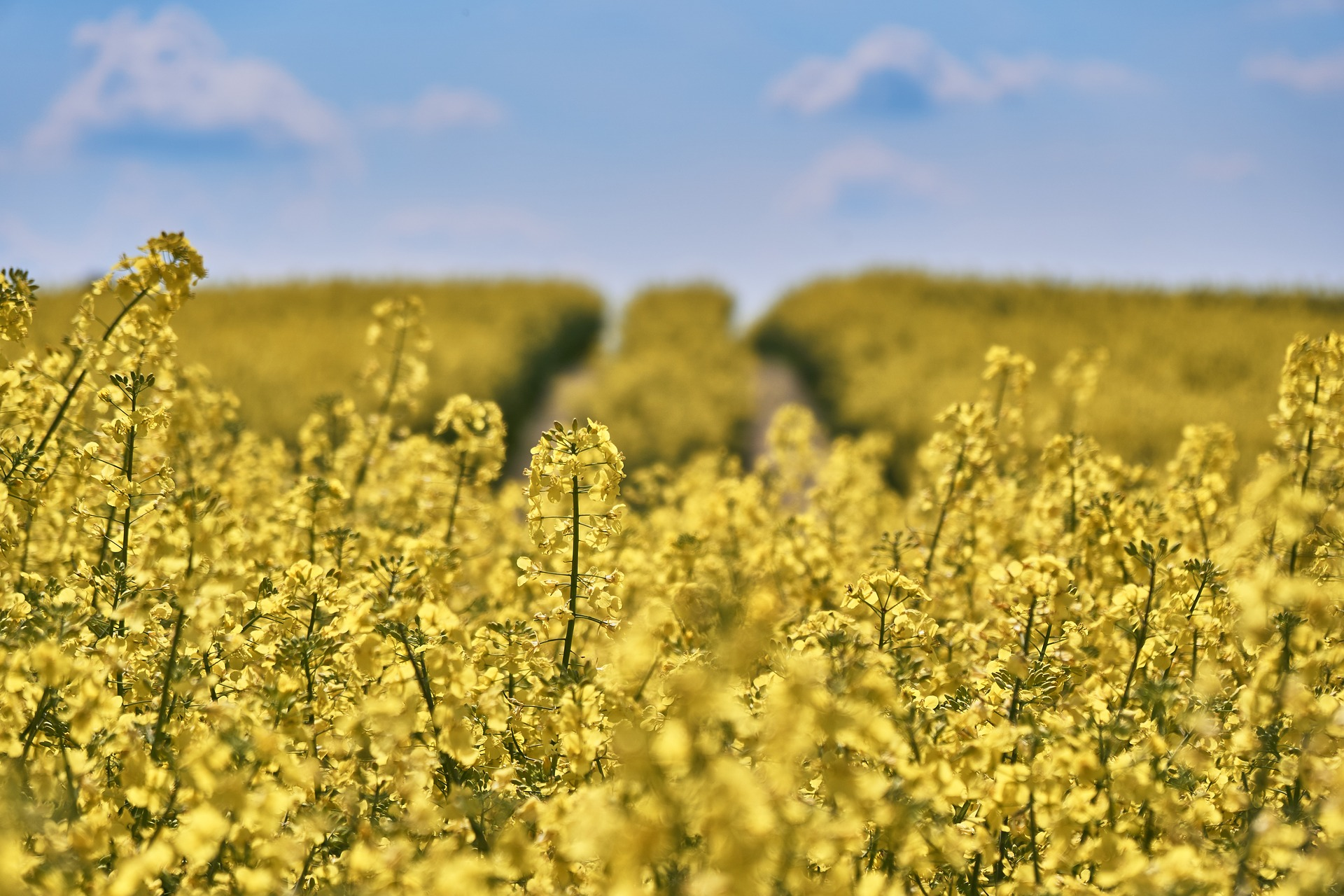 field-of-rapeseeds-1433463_1920